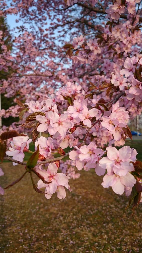 依田公園 桜