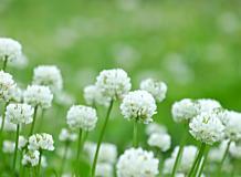 シロツメクサの花畑