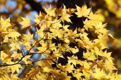 紅葉 紅葉 黄色