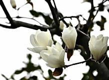 木蓮(春)