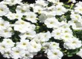 白いペチュニア